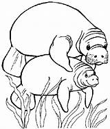 Manatee Coloring Pages Clipart Manatees Printable Preschool Mommy sketch template