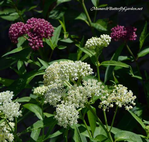 milkweed plants for 7 plantastic companion plants for milkweed in the garden 7504