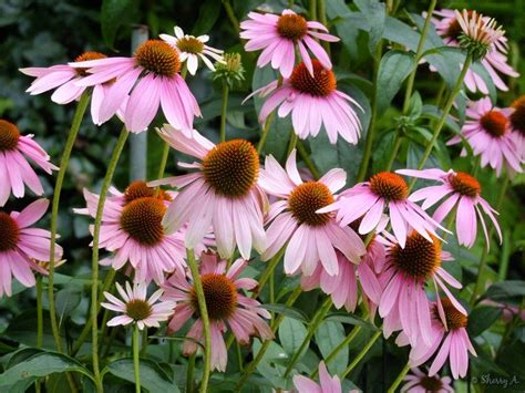 cone flowers coneflowers in bloom sherry s place