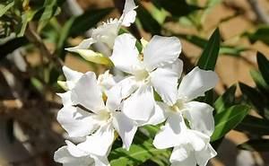 Laurier Rose Entretien : laurier rose nerium oleander plantation taille entretien ~ Melissatoandfro.com Idées de Décoration