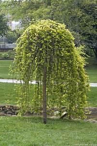 Taille Du Saule Pleureur : arbres et arbustes comment les tailler sans se tromper d tente jardin ~ Melissatoandfro.com Idées de Décoration