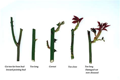 when to trim roses pruning roses completegarden s weblog