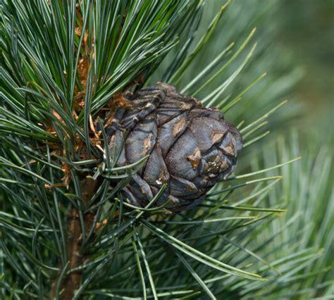 Eiropas ciedrupriede (Pinus cembra) - Stādaudzētava