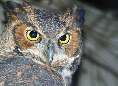 Great Horned Owl | Cameron Park Zoo