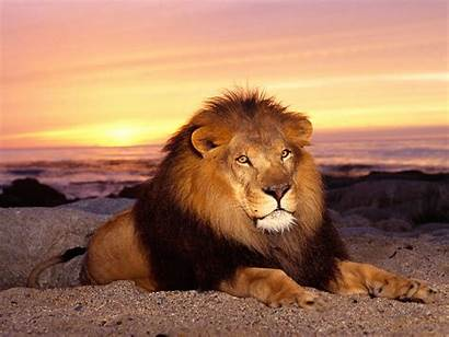 Lion Wallpapers Lions Animal Animals Funny King