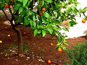 Arbres Fruitiers Nains En Pleine Terre : la culture des agrumes en pleine terre ~ Premium-room.com Idées de Décoration