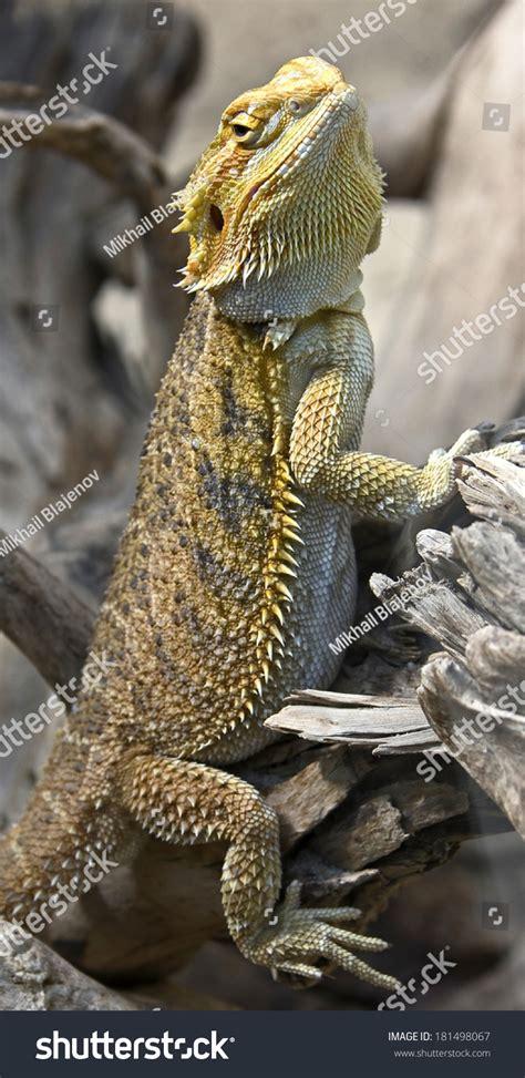 bearded names bearded dragon latin name amphibolurus vitticeps stock photo 181498067 shutterstock