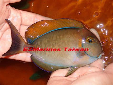 eye spot surgeonfish