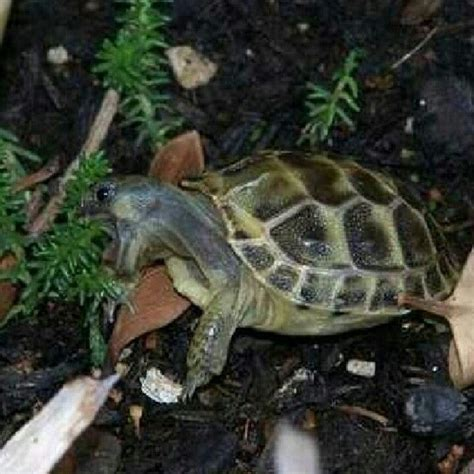 Hatchling Russian Tortoise   Turtles and Tortoises