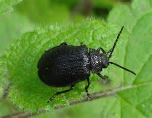 Black Beetle Identification