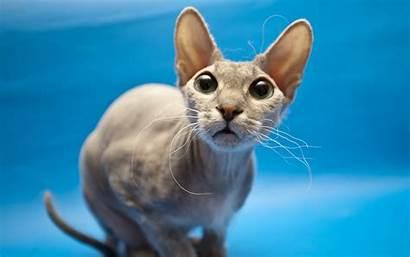 Cat Sphynx Desktop Wallpapers