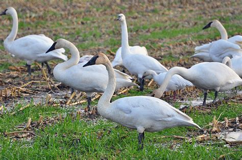 Like diving ducks and geese, swans must run, either on land or atop the water, for a short distance before becoming airborne. 2012-11-12 Trumpeter Swans and one Snow Goose (05) (1024x6 ...