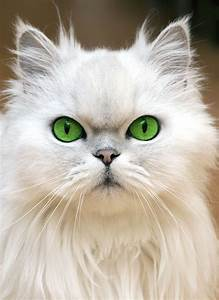 Top 10 Cutest Cat Breeds Pictures | Cool Cats | Pinterest ...