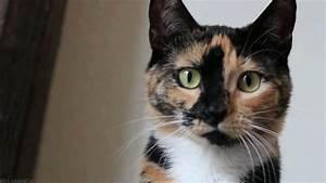 gif cat cute adorable meow cute cat tortoiseshell ...