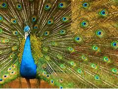 national bird of india...