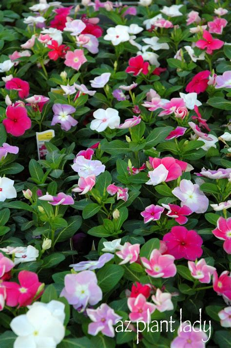 what are annuals very vibrant vinca ramblings from a desert garden