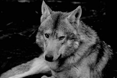 Black And White Wolf Wallpaper by Black And White Wolf 3 Cool Hd Wallpaper