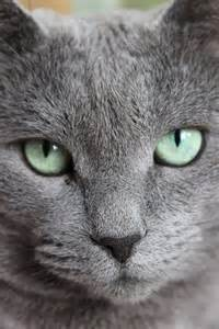 blue gray cat gorgeous cat with silver fur the silver lining