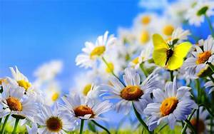 Spring, Flowers, White, Daisies, Butterfly, Blue, Sky, Wallpaper, Hd, 3840x2400, Wallpapers13, Com