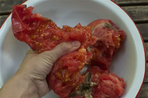 how to seed a tomato how to save heirloom tomato seeds