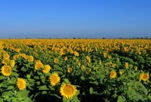 Dixon CA Sunflower Fields California