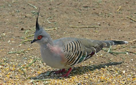 Crested Pigeon Wikipedia