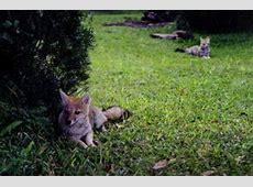 Pampas Fox The Animal Files
