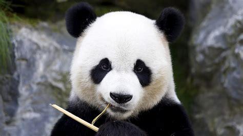 Giant Panda Endangered Animals