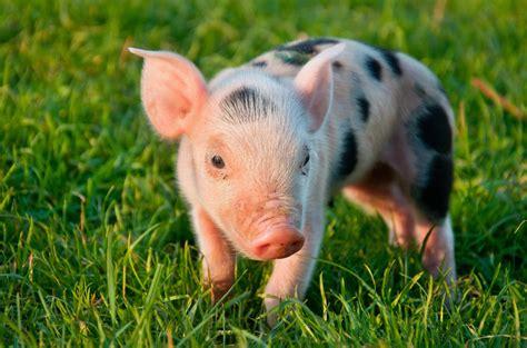 animal farm pig world animal foundation