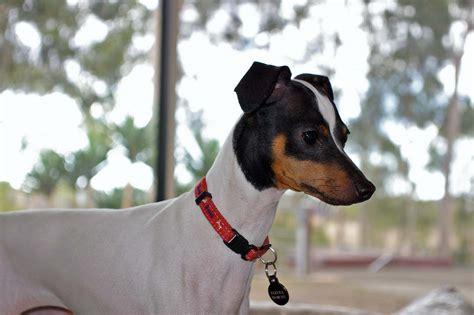 Japanese Terrier Spockthedog Com