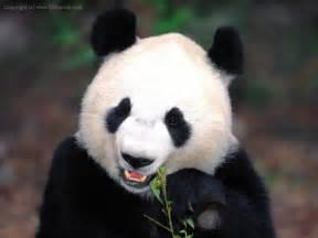 パンダ:パンダ-写真_旅情中国