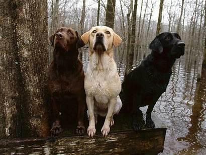 Labrador Retriever Puppy Lab Hunting Desktop Yellow