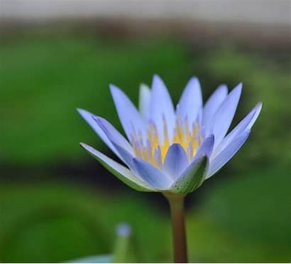Lotus Lily Herbs Botanica