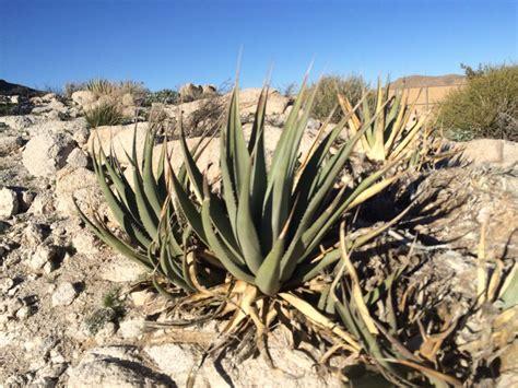 Agave deserti Calflora