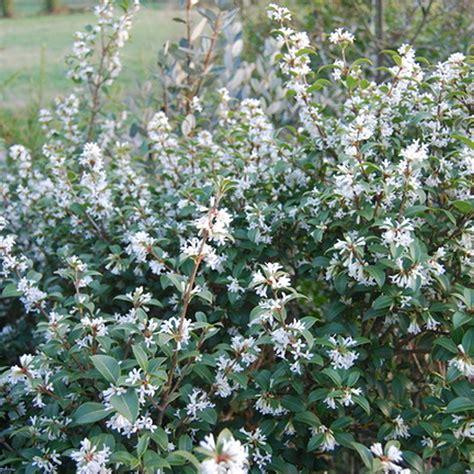 osmanthus burkwoodii burkwood evergreen shrub hardy