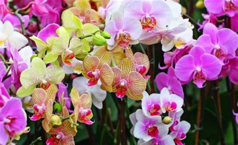 Cepat Hamil Jenis Jenis Bunga Anggrek Beserta Gambar Dan Ciri Cirinya