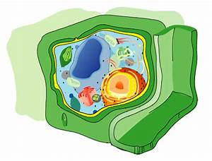 Cell wall - Wikipedia