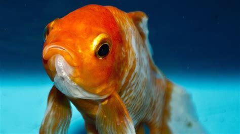 discus fish wallpaper  pictures