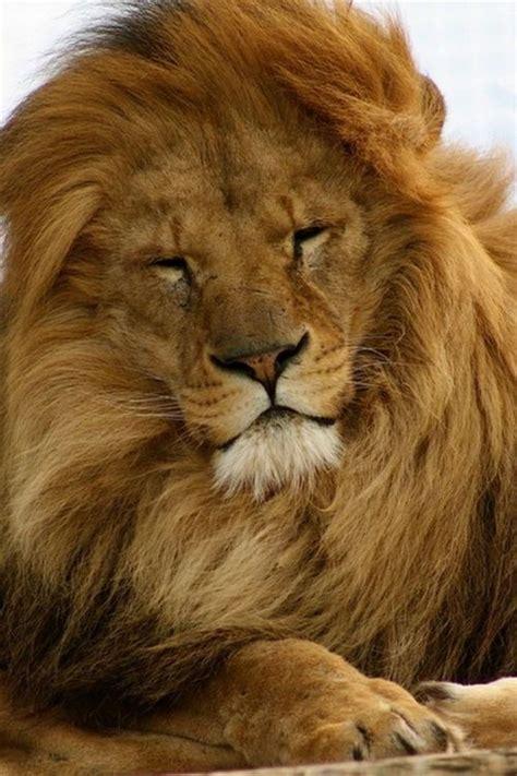 lion pictures   images  facebook tumblr