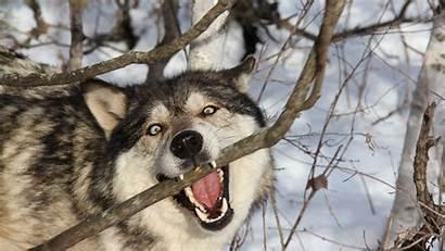 Wolf Wallpapers Dog Teeth Laptop Desktop Resolution