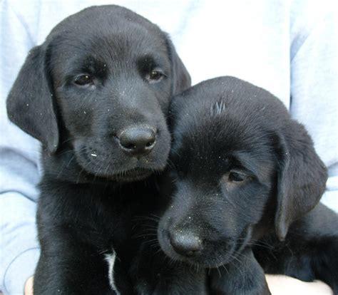 pin hundewelpen rassehunde anzeige schwarze labrador