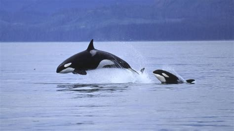 whales jump    water referencecom