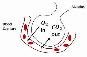 Diffusion Of Gases - Respiratory