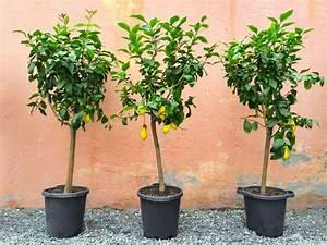 Dünger Für Zitronenbaum : zitronenbaum umtopfen schritt f r schritt anleitung ~ Watch28wear.com Haus und Dekorationen