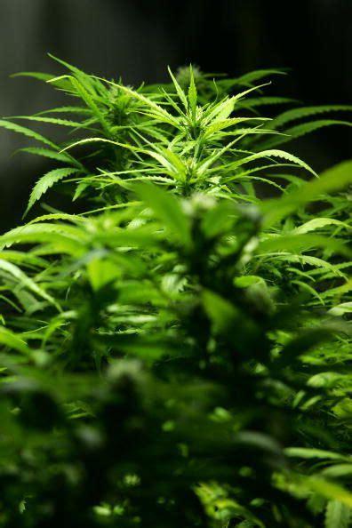 curaleafs plan      cannabis