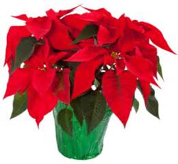 poinsettias pictures poinsettias how to keep them thriving year round
