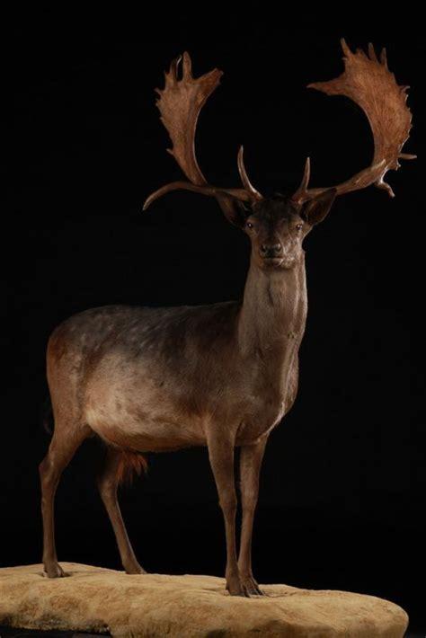 black fallow deer dama dama masai gallery