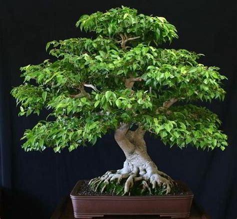 tips pemula penanaman perawatan bonsai beringin