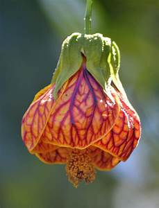 Chinese Lantern Flower | flowers | Pinterest