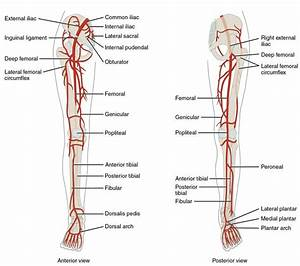 Of Arteries In The Legs   And The Right Panel Shows The